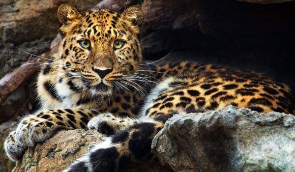 Фото: Дальневосточный леопард из Красной книги