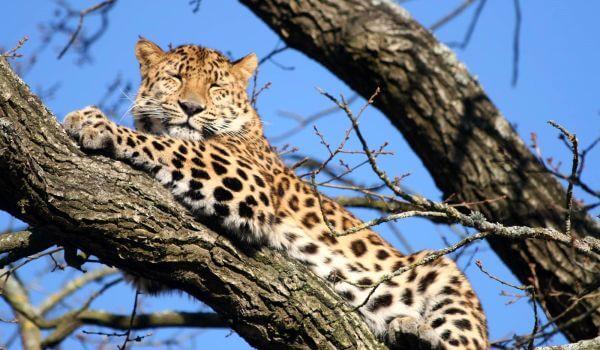 Фото: Дальневосточный амурский леопард