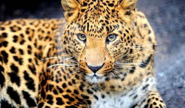Фото: Дальневосточный леопард животное