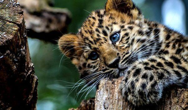 Фото: Детеныш дальневосточного леопарда
