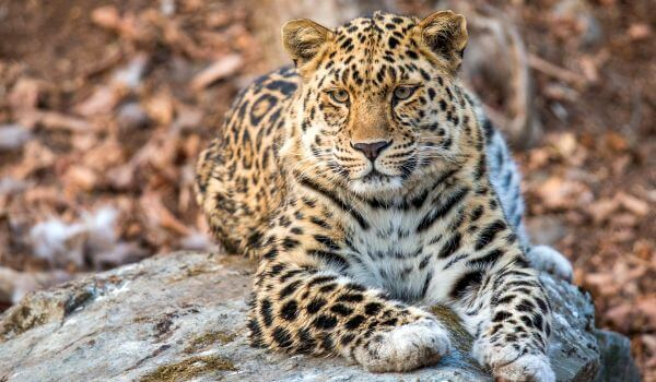 Фото: Дальневосточный леопард