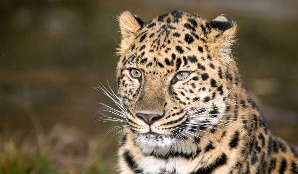 Фото: Животное дальневосточный леопард