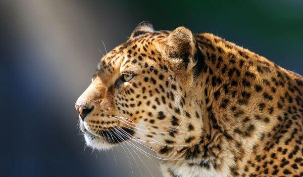 Фото: Дальневосточный леопард красная книга