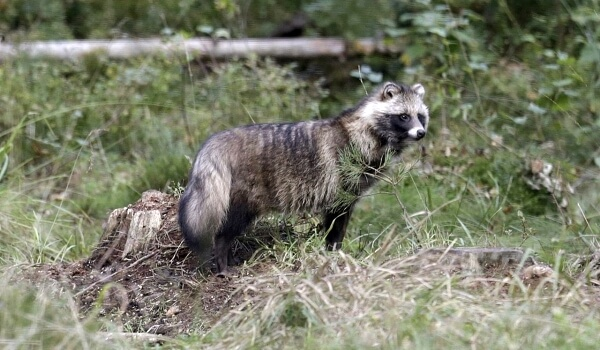 Фото: Енотовидная собака Россия
