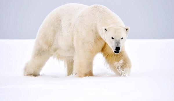 Фото: Гигантский белый медведь