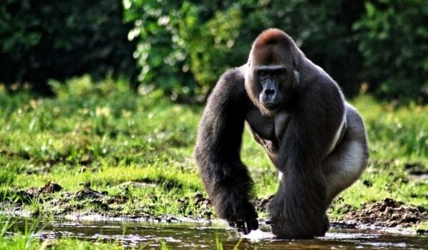 Фото: Животное горилла