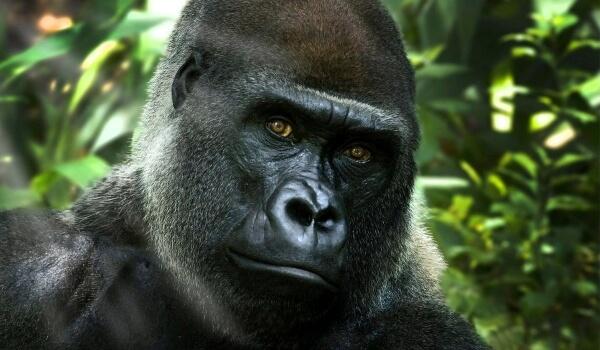 Фото: Примат горилла