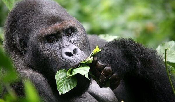 Фото: Большая горилла