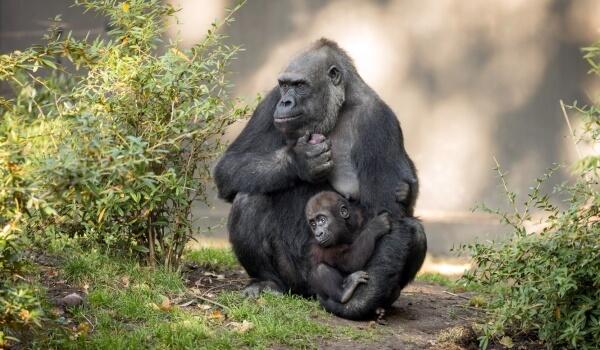 Фото: Детеныш гориллы