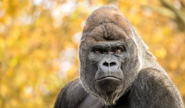 Фото: Горилла животное