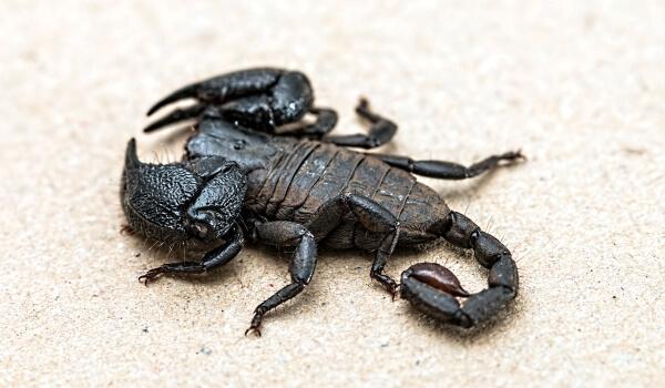 Фото: Императорский скорпион