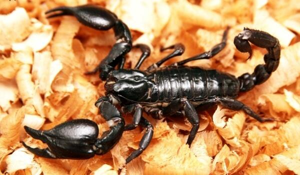 Фото: Тропический Фото: императорский скорпион
