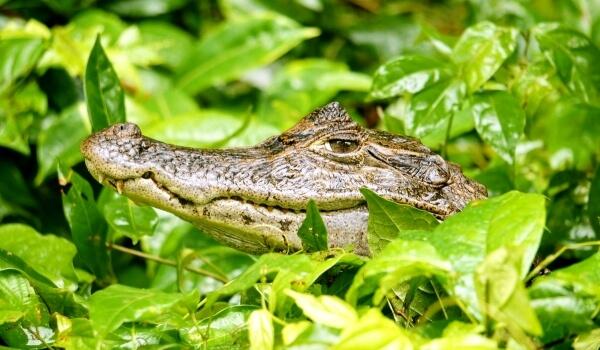 Фото: Крокодил кайман