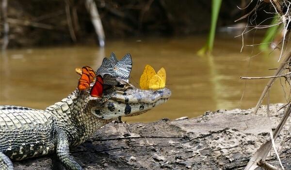 Фото: Кайман животное