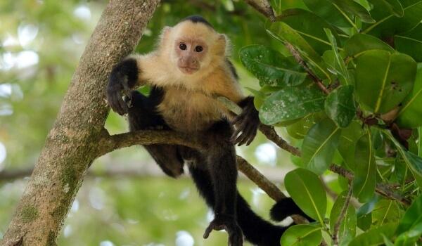 Фото: Капуцин обезьяна