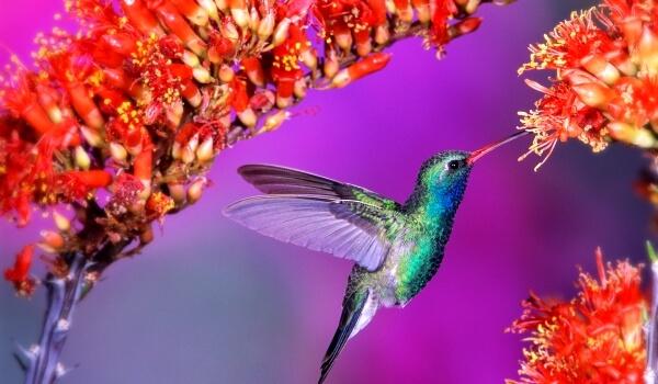 Фото: Колибри животное