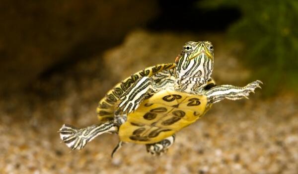 Фото: Красноухая черепаха
