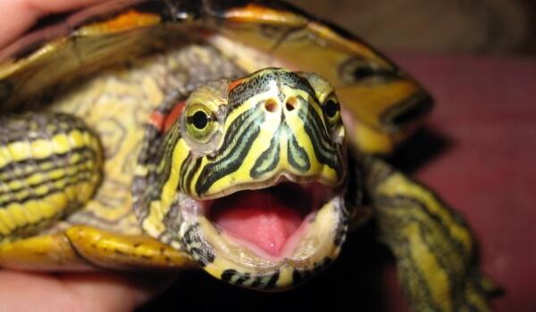 Фото: Животное красноухая черепаха