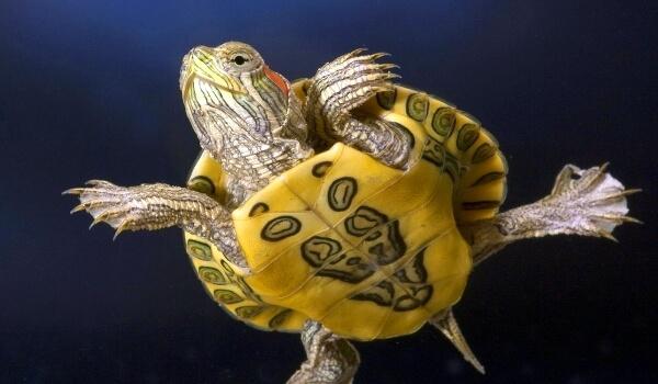 Фото: Маленькая красноухая черепаха