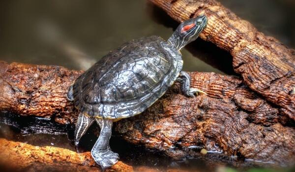 Фото: Красноухая водная черепаха