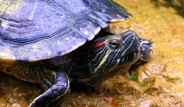 Фото: Красноухая черепаха мальчик