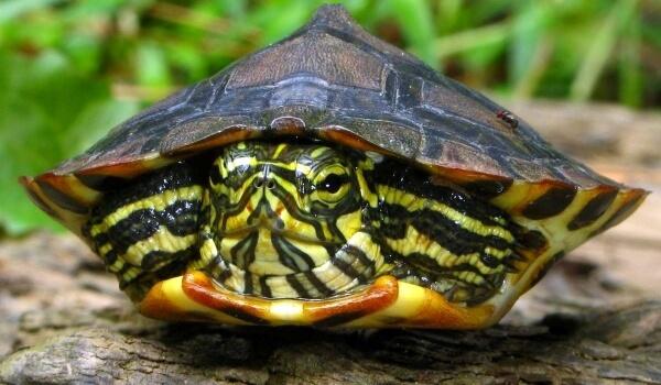 Фото: Большая красноухая черепаха