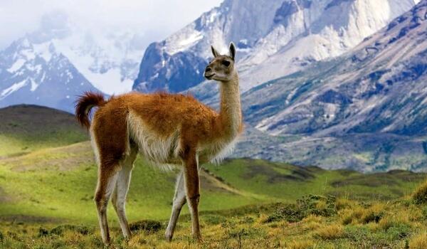 Фото: Лама в Андах