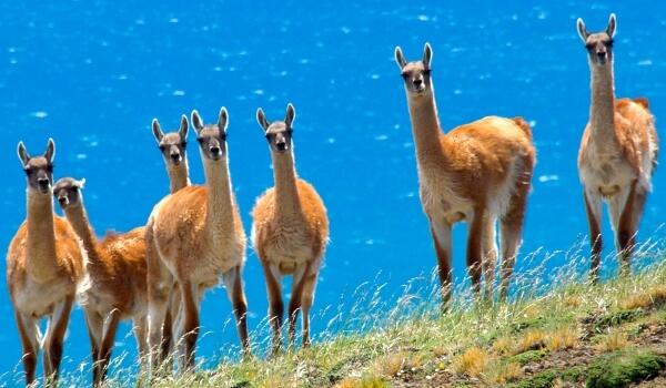 Фото: Ламы в природе