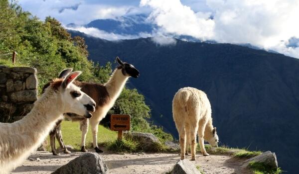 Фото: Животное лама