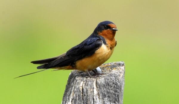 Фото: Птица ласточка