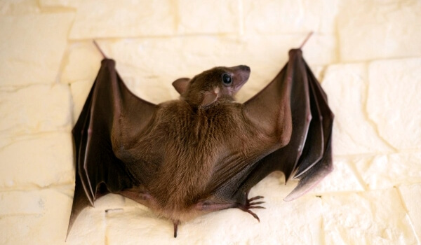 Фото: Летучая мышь Красная книга