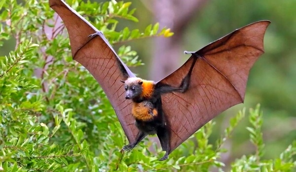 Фото: Лесная летучая мышь