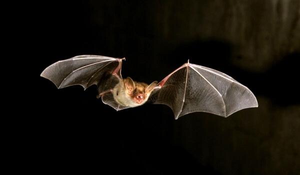 Фото: Большая летучая мышь