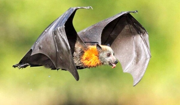 Фото: Летучая мышь