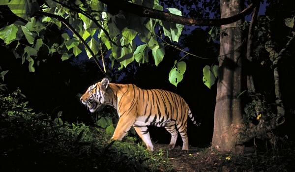 Фото: Малайский тигр животное