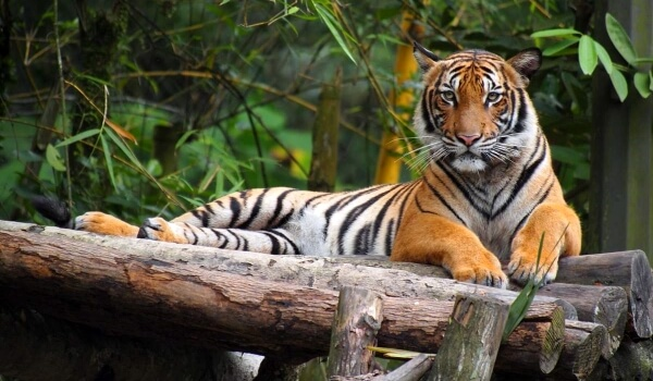 Фото: Животное малайский тигр