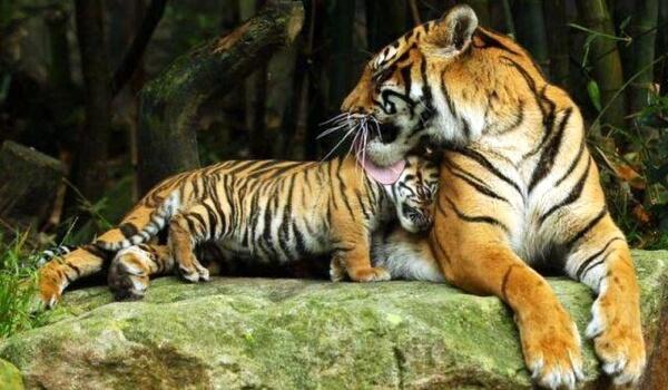 Фото: Малайский тигр