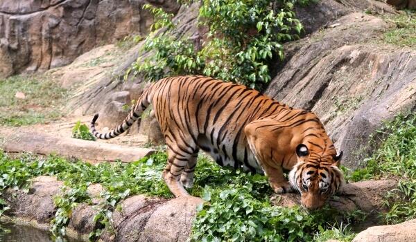 Фото: Малайский тигр из Красной книги