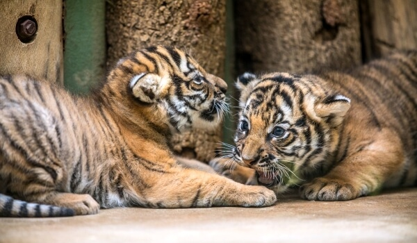 Фото: Детеныш малайского тигра
