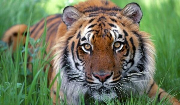 Фото: Малайский тигр Красная книга