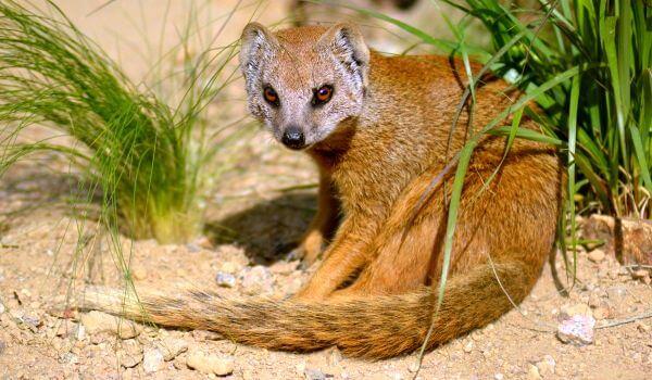 Фото: Животное мангуст