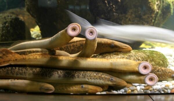 Фото: Рыба минога