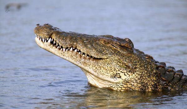 Фото: Нильский крокодил в воде