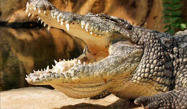 Фото: Большой нильский крокодил