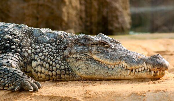Фото: Нильский крокодил пресмыкающиеся