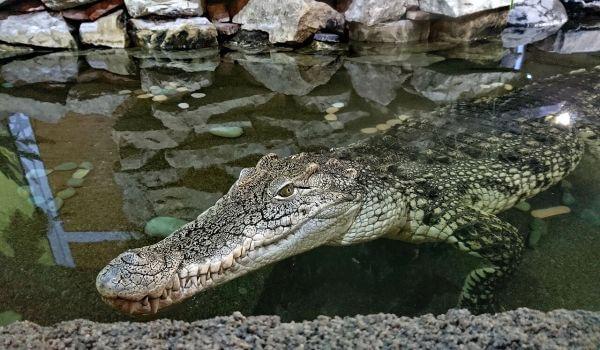 Фото: Нильский крокодил из Красной книги