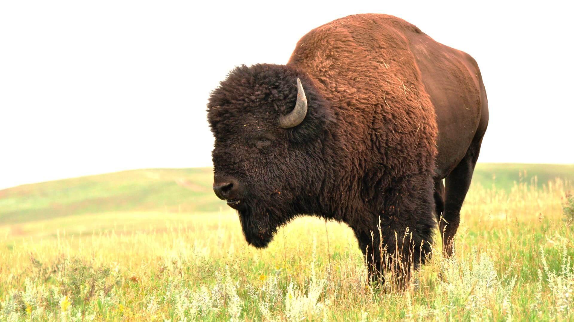 бизон фото животного уже