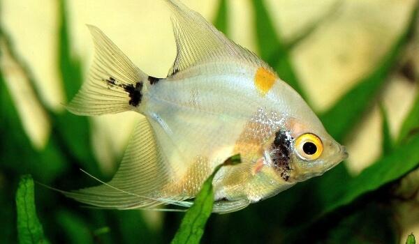 Фото: Скалярия рыба