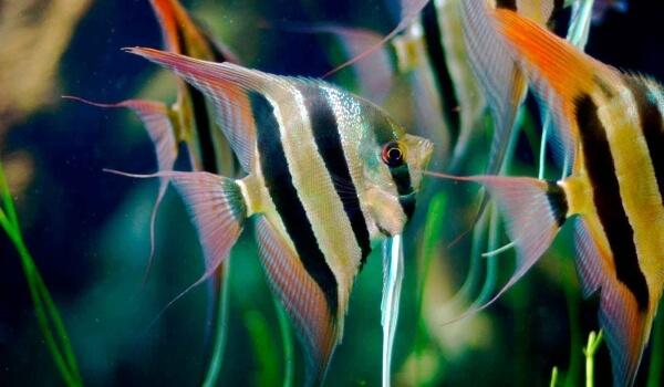 Фото: Рыба скалярия