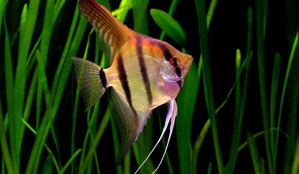 Фото: Рыба скалярия обыкновенная